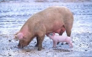 Pigs can harbor influenza viruses